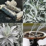 White Sage Bonsai Organic Herbs Salvia apiana Rare perenni Foglie Heirloom pianta Naturale 20-500PCS: 500PCS