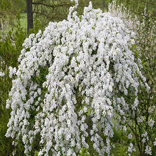 exochorda-x-macrantha-the-bride-1-shrub