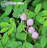 s 30pcs Schüchternes Gras Samen Mimose Linn, Laub Mimose Sensitive Bonsai Pflanze Hausgarten-Gelb