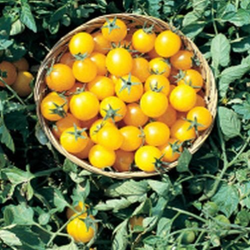 Hoch-cocktail (Ungarische Samen Tomate