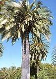 TROPICA - Chilenische Honigpalme (Jubaea chilensis) - 3 Samen