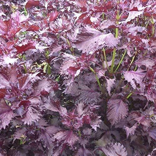 Seekay Périlla Rouge - Shiso - Japonais Basilic - Environ 1000 Graines