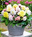 """Begonien-Mix """"Lemon Blossom"""",6 Knollen von Baldur-Garten - Du und dein Garten"""