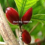 Las semillas de la fruta 10pcs de la herencia china Synsepalum dulcificum