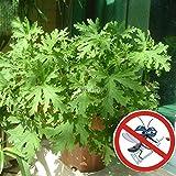 Keland Garten - Pelargonium Zitronengeranie Duftgeranie Samen, Fliegen und Mücken vertreiben (50)