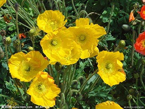 100pcs rouge de fleur de pavot graines Bonsai. graines Papaver ORIENTALE mis en pot rare planting.semillas décoré de jardin maison de flores 15
