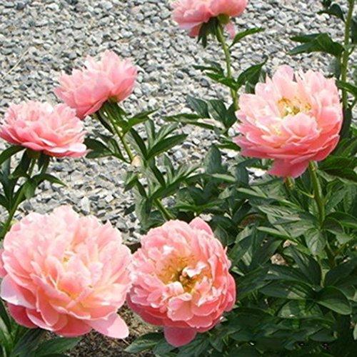 5 pcs/Sac Graines Semences de Fleurs Pivoine de Chine, Fleurs Seed Plantes Vivaces Arbres à fleurs Plante Rare Bonsaï de Jardin Balcon