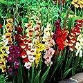 Riesen Gladiolen Mischung von Meingartenshop bei Du und dein Garten