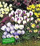 BALDUR-Garten Wildkrokusse, Botanische Krokusse Kollektion, 100 Zwiebeln, Crocus chrysanthus Mix