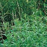 Kräutersamen - Echte Eisenkraut - 500 Samen