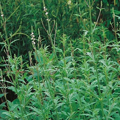herb-seeds-vervain-500-seeds
