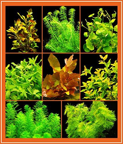 Zoomeister - Anti-Algen-Set - 40 Schnellwachsende Pflanzen + Lotus (Algen Dünger Trockene)