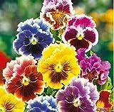 Qulista Samenhaus - 100pcs Selten Stiefmütterchen Mischung Blumensamen Mischung mehrjährig winterhart als Hintergrundpflanze in Rabatten und Betten