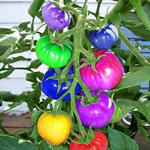 Grüne Sprossen Obst (Inovey 100 Stücke Regenbogen Tomatensamen Bunte Bonsai Bio Gemüse Und Obst Samen Hausgarten)