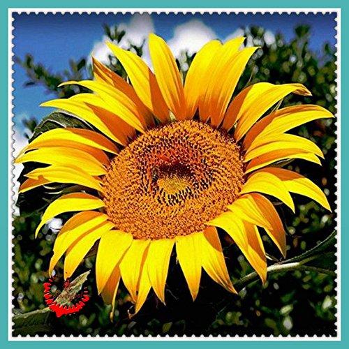 20 pc/sacchetto gigante di semi di girasole un piante yard flower garden visualizza piantare facile da coltivare