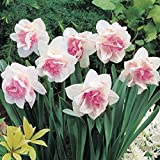 Millthorpe Plant Centre - 10 Narcissus Replete - Pink Double Daffodil - Size 12/14 - Spring flowering bulb - FREE DELIVERY!!!