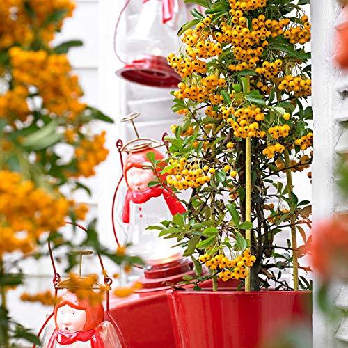 Feuerdorn Sichtschutz, Vogelschutz und -nährpflanze, Solitärpflanze, Immergrüne Hecken