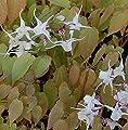 Elfenblume - Epimedium grandiflorum von Baumschulen auf Du und dein Garten