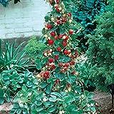 Dominik Blumen und Pflanzen, rankende Erdbeeren,Erdbeer-Bäumchen