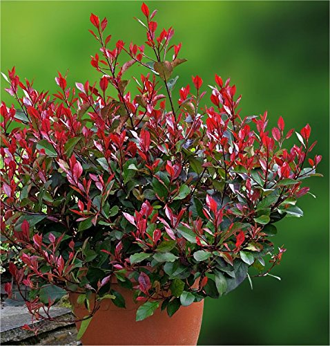 photinia-little-red-robin-compact-evergreen-shrub