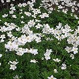 Anemone sylvestris - Waldanemone, Großes Wald-Windröschen, im 0,5 Liter Topf, weiß blühend