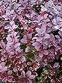 20x Berberitze Berberis vulgaris Garten Samen Frisch essbar gesund VitaminC #355 von Samenhandel Ipsa Import und Handel - Du und dein Garten