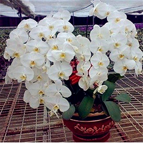 orchidées Phalaenopsis Bonsai graines balcon fleur papillon orchidée pour la maison des plantes 100 graines / paquet