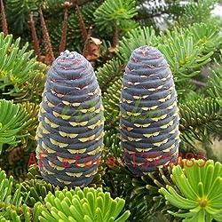 100pcs Mix-Farbe Bougainvillea spectabilis Willd Samen Bonsai Blume Pflanzensamen Blumen Blumentopf Pflanzer