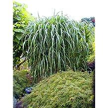 Suchergebnis auf Amazon.de für: Sichtschutz Pflanzen Winterhart