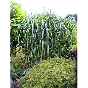 baldur garten chinaschilf 39 eulalia 39 chinagras 3 pflanzen. Black Bedroom Furniture Sets. Home Design Ideas