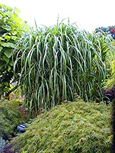 8 x riesen chinaschilf winterhart miscanthus giganteus elefantengras im topf garten. Black Bedroom Furniture Sets. Home Design Ideas