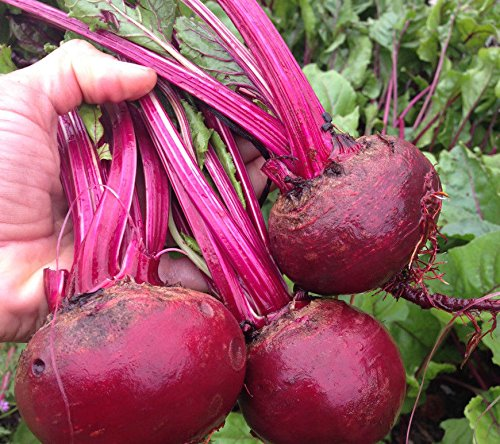 PLAT FIRM GRAINES DE GERMINATION: 500 graines: USA SELLER Fuer Kugel Betterave rouge 50-1000 graines HEIRLOOM NON-OGM