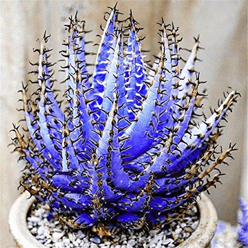 Ultrey Samenshop - 100 Stück Selten Aloe Vera (Aloe barbadensis) Samen Zierpflanze Sukkulenten Saatgut Erste-Hilfe-Pflanze Samen Bonsai saftig mehrjaehrig