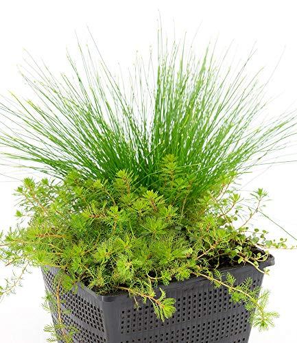 BALDUR-Garten Sauerstoff-Teichpflanzen im Korb, 1 Set Wasserpflanzen für den Gartenteich