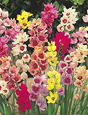 Ixia Bulbs (african Corn Lily) x 20 Mixed Colours OGD262