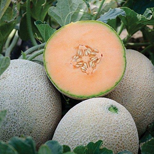 Portal Cool Seeds Package: 10 - Seas: Electra F1 Hybrid n Seeds - Red mediana con carne de color naranja brillante. ¡¡¡¡¡Dulce!!!!!