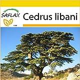 SAFLAX - Anzucht Set - Libanon - Zeder - 20 Samen - Cedrus libani