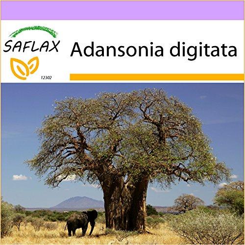 SAFLAX - Afrikanischer Affenbrotbaum - 6 Samen - Adansonia digitata