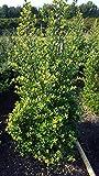 japanische Hülse Ilex crenata Dark Green 60-80 cm hoch mit Ballen