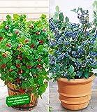 """BALDUR-Garten Topf-Heidelbeere """"Blue Parfait®""""& Topf-Himbeere """"Ruby"""