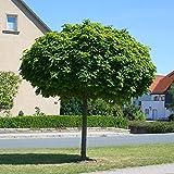 Acer platanoides Globosum Kugelahorn Hochstamm Kugelbaum versch Größen auf Stamm (Stammhöhe 125 cm)