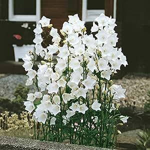 staude hohe glockenblume wei bl hend 5 stauden garten On staude weiß blühend