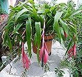 Portal Cool Billbergia X Windii Engel Tränen Bromelie Fs Große Abteilung Zimmerpflanze Orchideen
