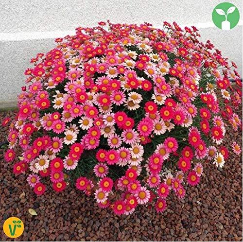 Qulista Samenhaus - 50pcs duftend Zwergmargerite Mix bienenfreundlich reichblühend | Kapkörbchen Blumensamen Mischung mehrjährig Winterhart für Steingärten, Kästen