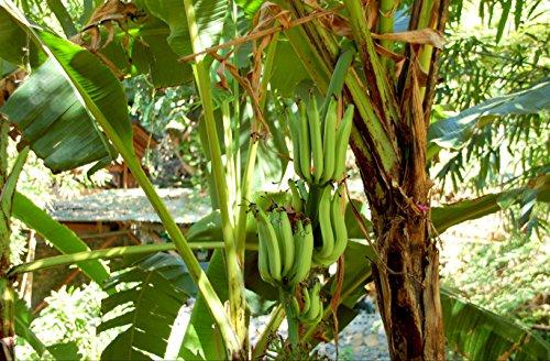 hansepuzzle 25917 Ernährung - Bananen-Pflanze, 500 Teile in hochwertiger Kartonbox, Puzzle-Teile in wiederverschliessbarem Beutel