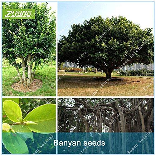 Galleria fotografica ZLKING 100 Pz Semi cinesi Semi Banyan Tree Bonsai Assorbire Nocivo gas ad alta Tasso di germinazione Shade Tree Per la casa Giardino