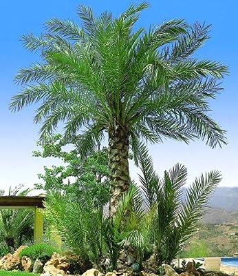 BALDUR-Garten Chilenische Honig-Palmen, 1 Pflanze, Jubaea chilensis von Baldur-Garten bei Du und dein Garten