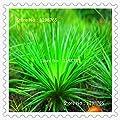 Grassamen Perennial 300pcs Gras brennende Bush Kochia Scoparia Samen Red Garten Zier leicht wachsen von SVI bei Du und dein Garten