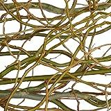 18 frische Korkenzieherweide-Zweige grün (ca. 80 cm lang) | echte Weidezweige | Deko-Zweige für Bodenvase | Dekoration