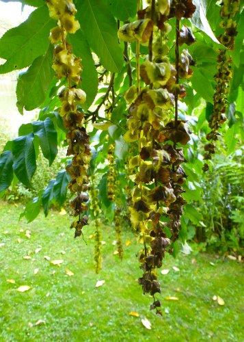 Tropica - Kaukasische Flügelnuss ( Pterocaya fraxinifolia ) - 15 Samen